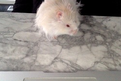 Pantoufle, rongeur Hamster
