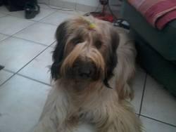 Pantoufle, chien Berger de Brie