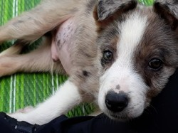 Pao, chiot Border Collie