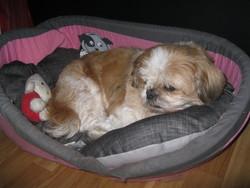 Paola, chien Shih Tzu