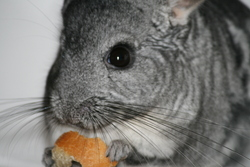 Paola, rongeur Chinchilla
