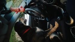 Paoli, chien Beauceron