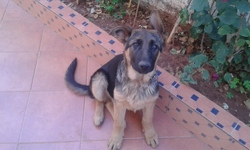 Paolo, chien Berger allemand