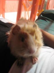 Papaye, rongeur Hamster