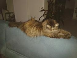 Papaye De La Voie Romaine, chat Persan