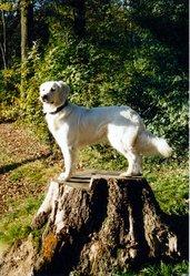 Papeete Des Abellies D'Aulay, chien Golden Retriever