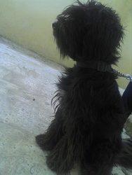 Papich, chien Berger portugais