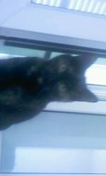 Papillotte, chat Européen
