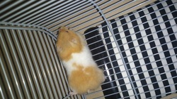 Papll, rongeur Hamster