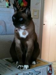 Papou, chat Oriental