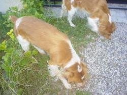 Papouf, chien Épagneul breton