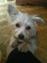 Papouille, chien Silky Terrier