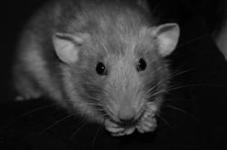 Papouille , rongeur Rat