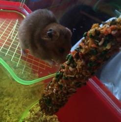 Paprika, rongeur Hamster