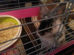 Papuche, rongeur Lapin