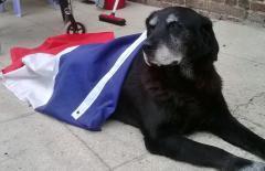 Papy, chien Labrador Retriever