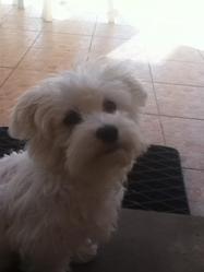 Paquito, chien Bichon maltais