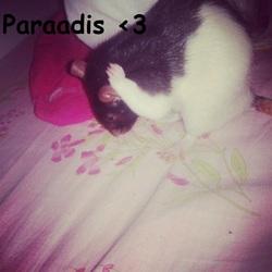 Paraadis, rongeur Rat