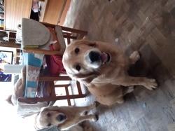 Parker, chien Golden Retriever