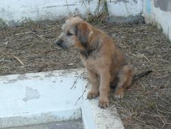 Dolly, chien Schnauzer
