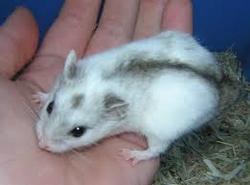Arc En Ciel Partie Trop Tot , rongeur Hamster