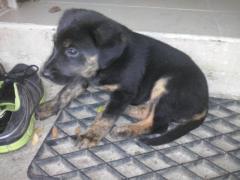Iana, chien