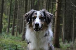 Sky, chien Berger australien