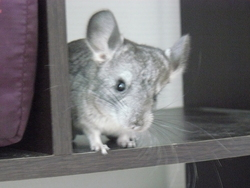 Ficelle, rongeur Chinchilla