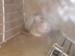 Girly, rongeur Rat