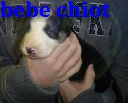 Jazzy, chien