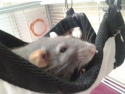 Pastel, rongeur Rat