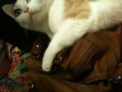 Pastel, chat Européen