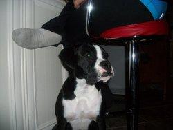 Pastille, chien Boxer