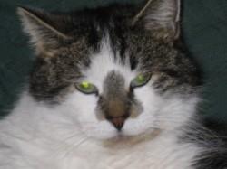 Pastis, chat Gouttière
