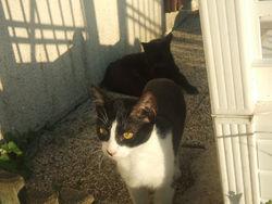 Patachoux, chat Européen