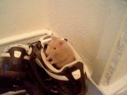 Patafouin, rongeur Hamster
