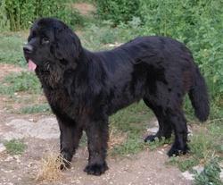 Patapouf, chien Terre-Neuve