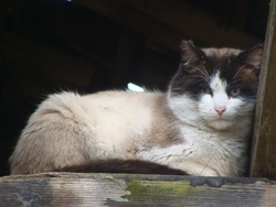Patapouf, chat Siamois