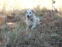 Patapouf, chien Labrador Retriever