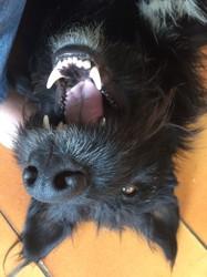 Patapoufe, chien