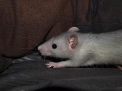 Patatra Rip, rongeur Rat