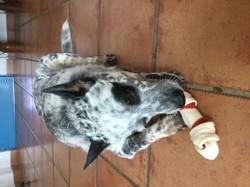 Patch, chien Bouvier d'Australie