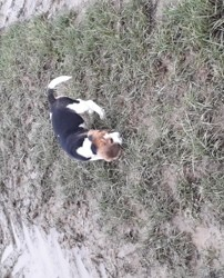 Patch, chiot Beagle