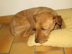 Patche, chien Welsh Terrier