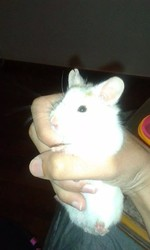 Patchouli, rongeur Hamster