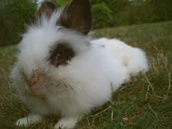 Patchoulie Rip, rongeur Lapin