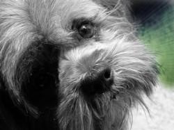 Pateau Nous A Quitté En 2013, chien Lhassa Apso