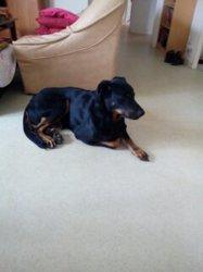 Pateau, chien Beauceron