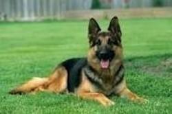 Patience, chien Berger allemand