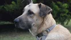 Patmol, chien